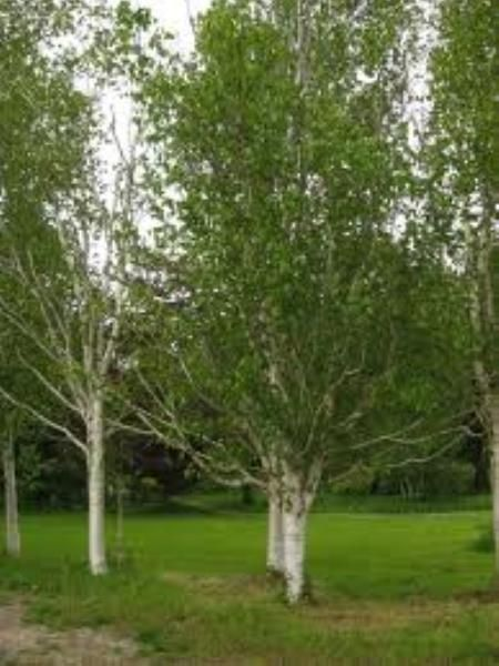 Himalayan Birch Trees Birch trees for sale, Tree