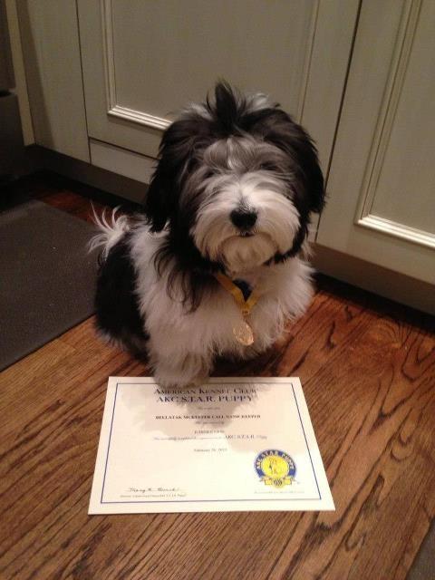 Puppy School Graduate, Keefer the Havanese #dogtraining #NYC