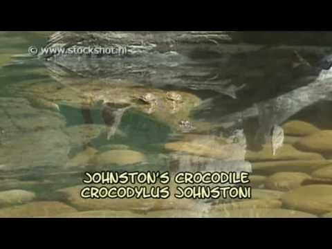 Johnstons crocodile is a relatively small  fresh water crocodile. Looking for broadcast footage? Don't shoot! Contact http://www.stockshot.nl/ ©