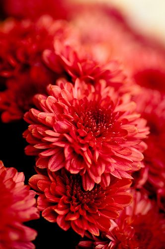 prettylittleflower:  red mums (by raspberrytart)