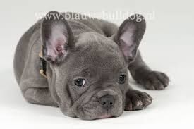 franse bulldog - Google zoeken
