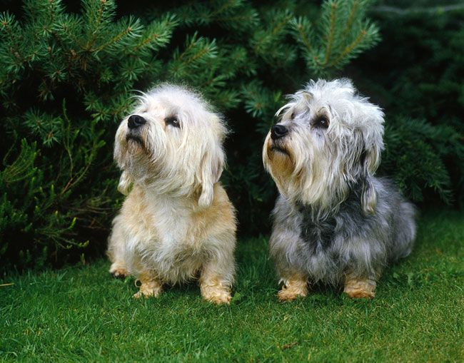 Everything you want to know about Dandie Dinmonts, including grooming, training, health problems, history, adoption, finding a good breeder, and more.