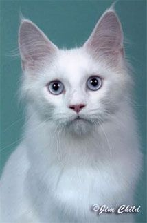 #MaineCoon #Solid #White, Maine Coon Colors