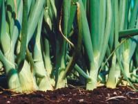 Onions: Planting, Growing and Harvesting Onion Plants | The Old Farmer's Almanac