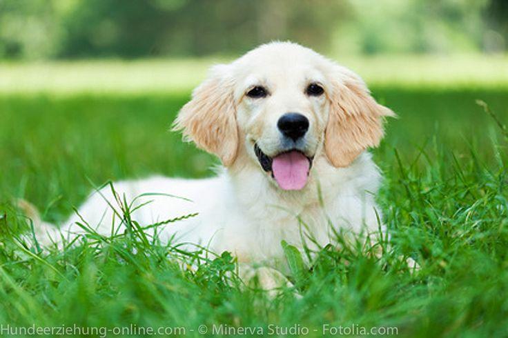 Wenn Hunde zu Schafen werden – Warum Hunde Gras fressen