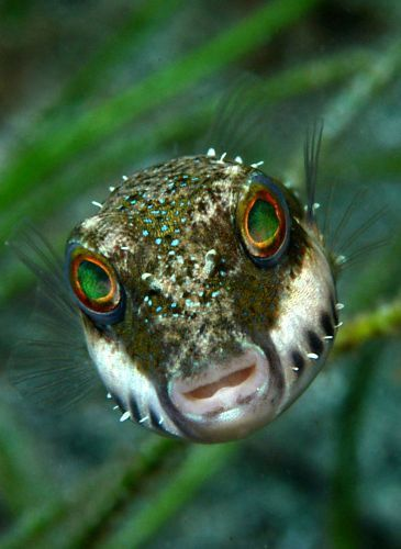 Stare.  A bandtail puffer comes in for a close look.   From Dive Photo Guide       via Julie Vandergrift