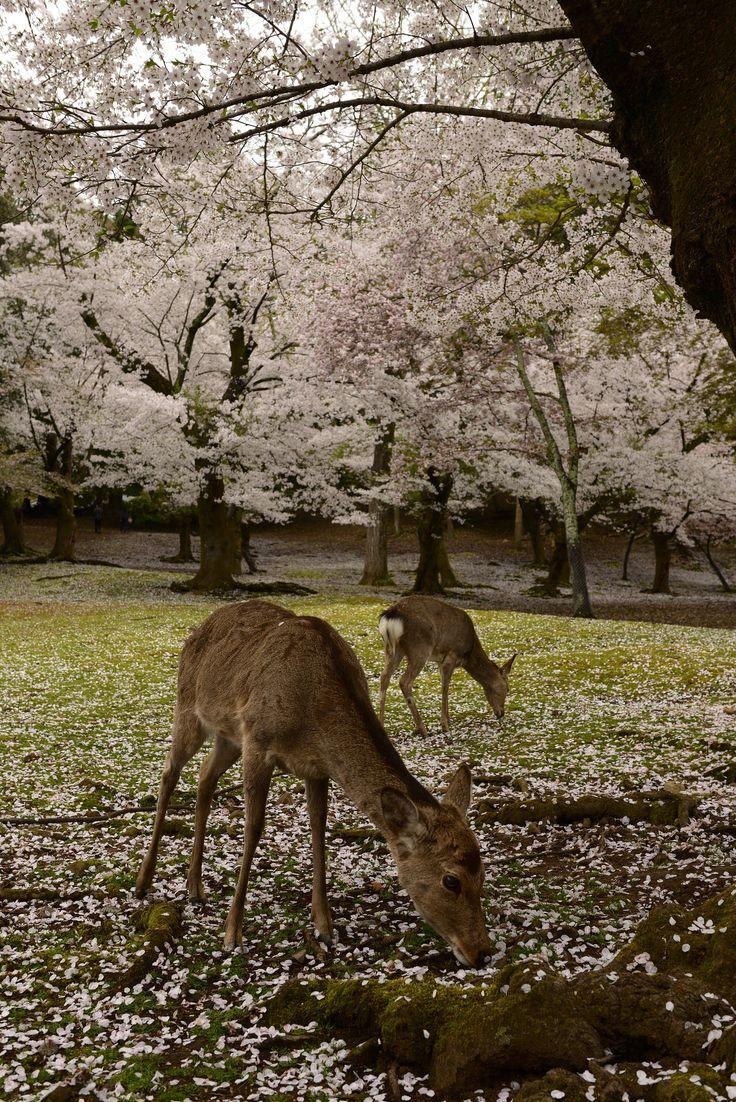 https://flic.kr/p/RKQgGG   Japan2015_409   Sakura and Deer in the garden of Todai-ji(東大寺),. Nara, Japan
