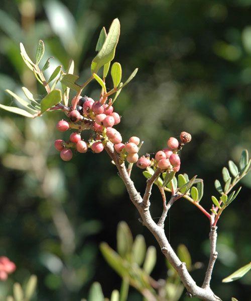 Jedinečná energie z rostlin – pro zdraví a krásu – Lentišek- Pistacia Lentiscus – řečík lentišek : Wellness Life