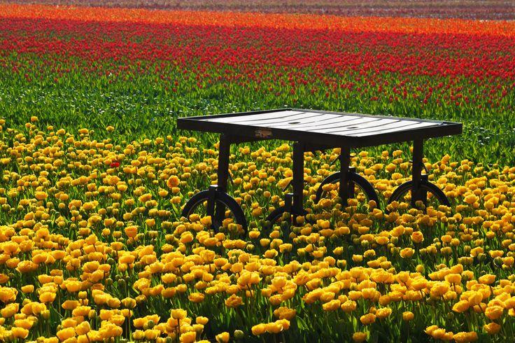 A tulipánok gondozását komoly szaktudással és felszerelésekkel végzik. Ugyan a mezők varázslatosnak tűnnek, valójában itt nagyon kemény munka zajlik, melynek részeként általában már ősszel elültetik a jövő évi virágok hagymáit.