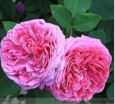 Image result for damask rose plant