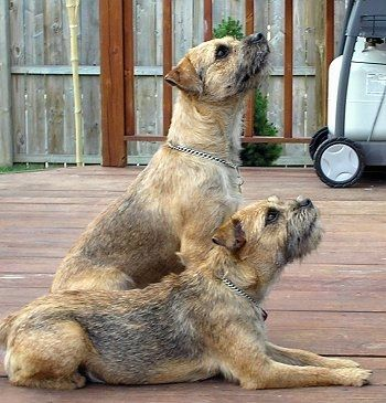 Sophie the Border Terrier laying on the porch and looking up with Oscar the Border Terrier sitting on the porch next to him also looking up