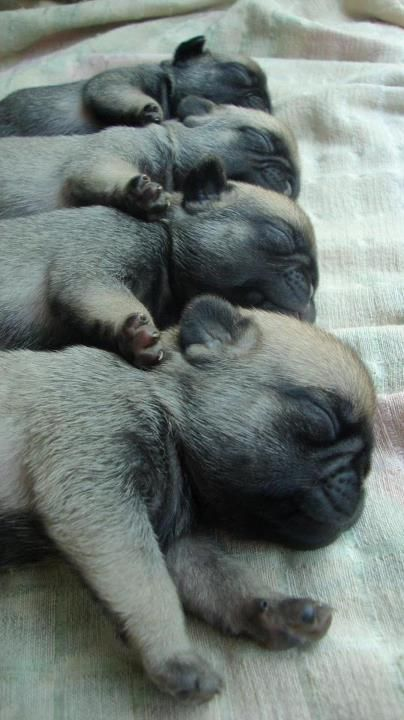 brand new pugs