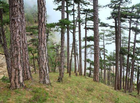 Bosque nublado de verano de pinos en la colina monta a de Aj Petri Crimea Ucrania  Foto de archivo