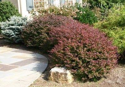 Лещина – нарядное украшение двора