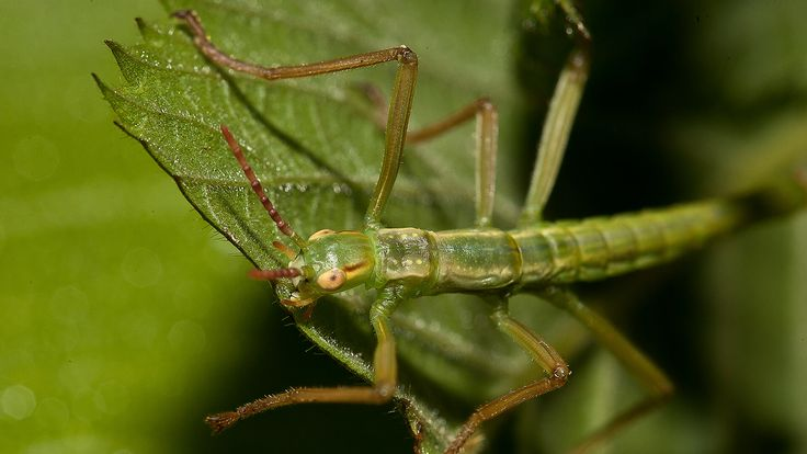San Diego Zoo - Juvenile Lord Howe island stick insect on green leaf