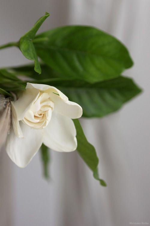 クチナシの季節 クチナシ お花屋さん 美しい