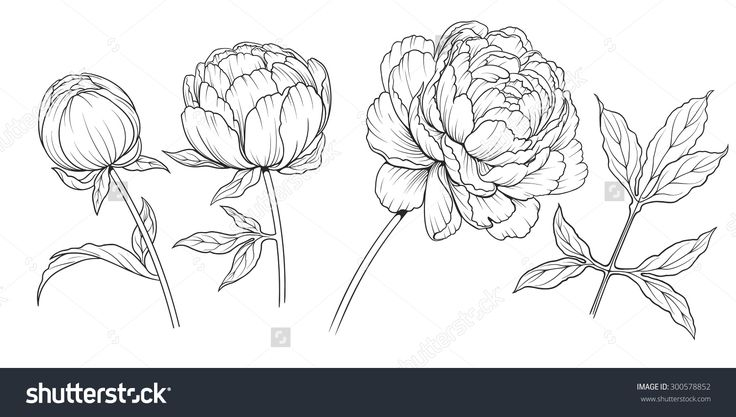 Peony Flower Line Drawing : Best peony drawing ideas on pinterest