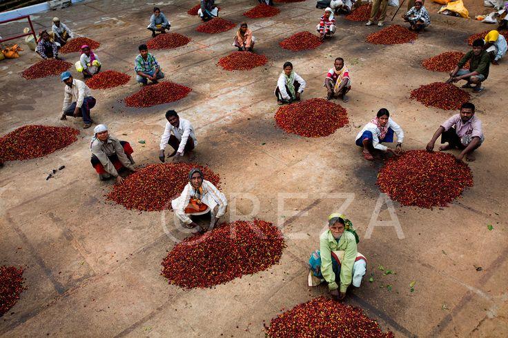 Red cherries. Hanchibetta plantation, Poli betta village, district of Kodagu, Karnataka, India, January 7, 2013. #soulofcoffee #chantsdecafe #rezaphoto
