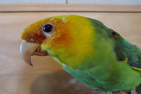 Carolina Parakeet-Extinct Animals That Science Could Bring Back From The de@d
