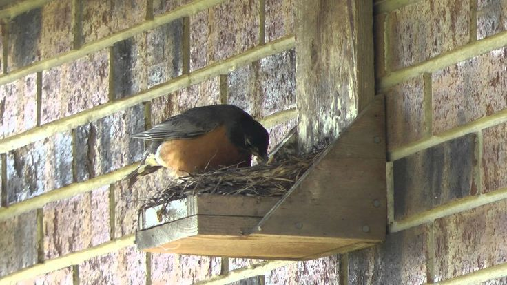 birdhouse for robin | Do it Youself Best Ever Robin Nest Box, Mother Robin feeds chicks and ...