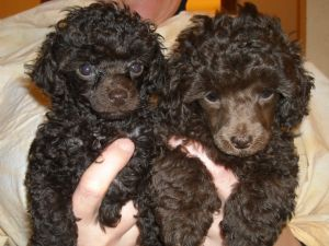 AKC Tripple Chocolate Tea Cup Poodle - Toy Poodle for Sale