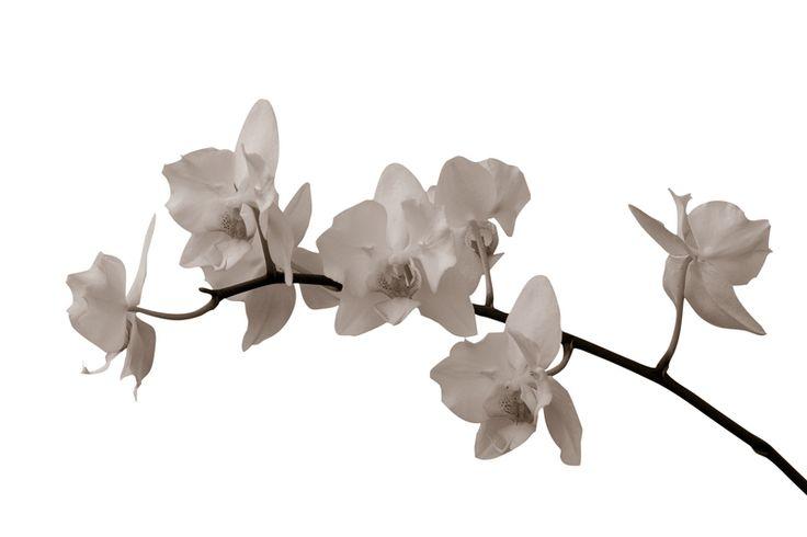 White Orchid Stem - Sepia Fototapeter & Tapeter