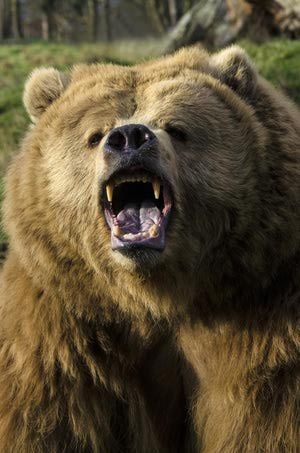 Grizzly bear - Mark Newman/Lonely Planet Images/Getty Images