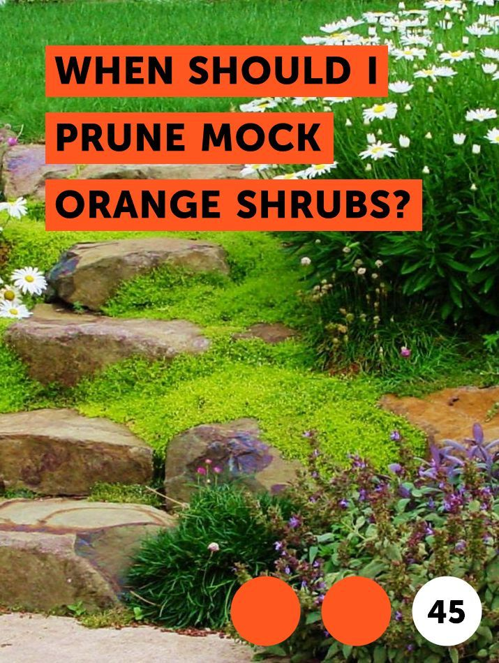 Learn When Should I Prune Mock Orange Shrubs How To Guides Tips And Tricks Plants Mock Orange Shrub Fruit Trees