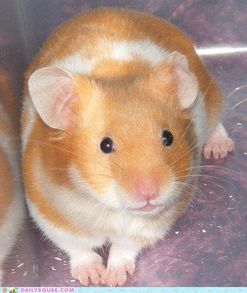 Dieser Hamster sieht fast genauso aus wie mein erster Hamster, Bullseye (1996-1999).   – Pocket Pets