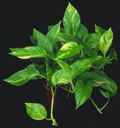 green vine houseplants devils ivy golden photos garden pinterest