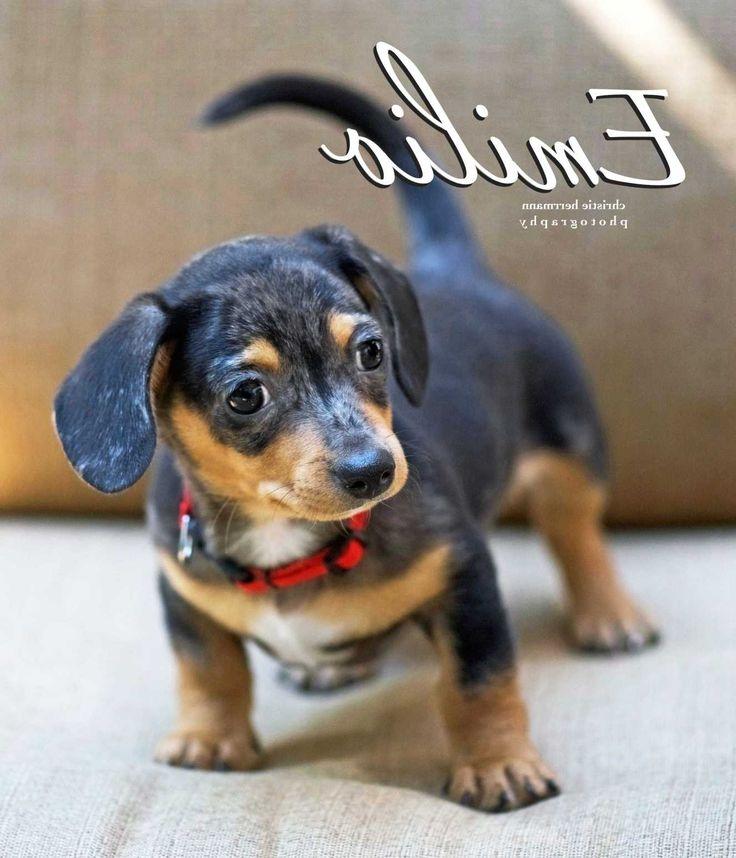 Park Art My WordPress Blog_Chiweenie Puppies For Sale Near Me