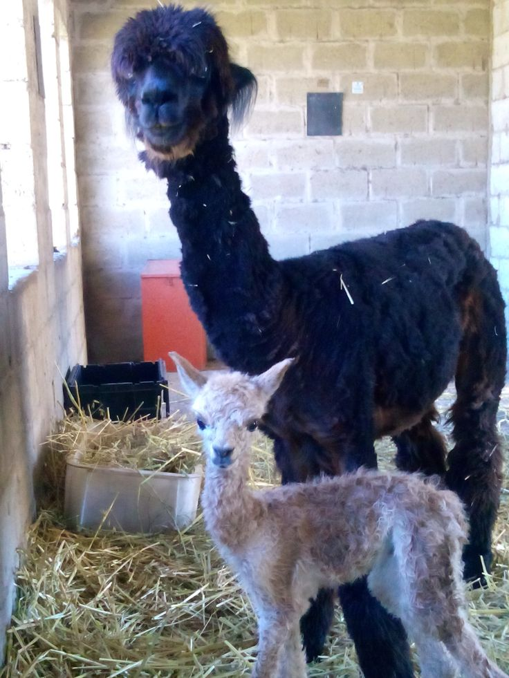 """On the 5 March 2014, """"Kahlua"""" became a very proud mommy and of course, the father """"Black Jack """" is even more proud. Alpacas are used as a non lethal method of predator management for livestock."""