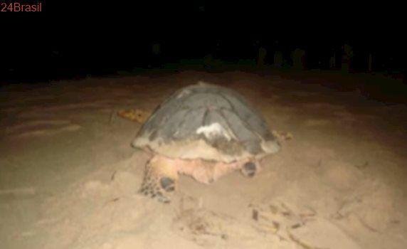 Tartaruga-marinha sem nadadeiras traseiras tenta desovar em praia de João Pessoa