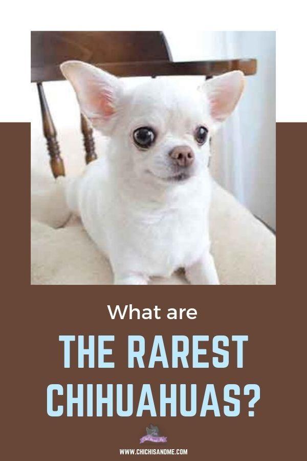 Title The Rarest Chihuahua Colors Chihuahua Breeds Chihuahua