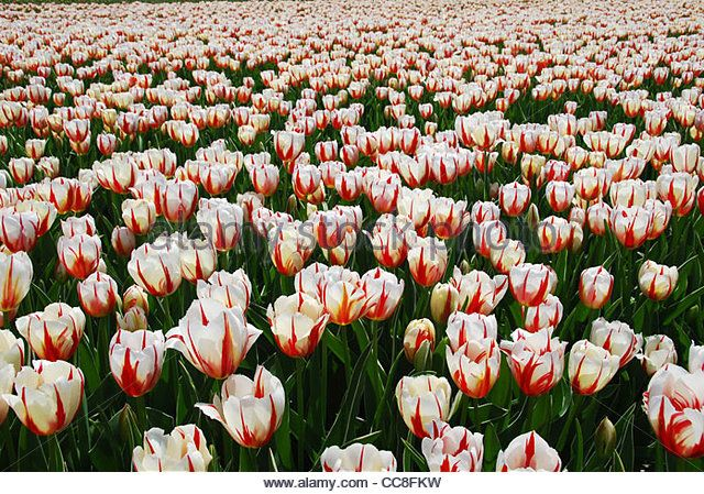 tulip field, Holland, Netherlands, Europe - Stock Image