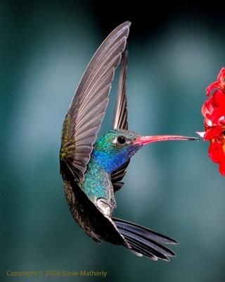The Broad-billed Hummingbird (Cynanthus latirostris) is a medium-sized hummingbird. It is 9–10 cm long, and weighs approximately three to four grams. It is found primarily in  southwestern United States to southwestern Mexico.