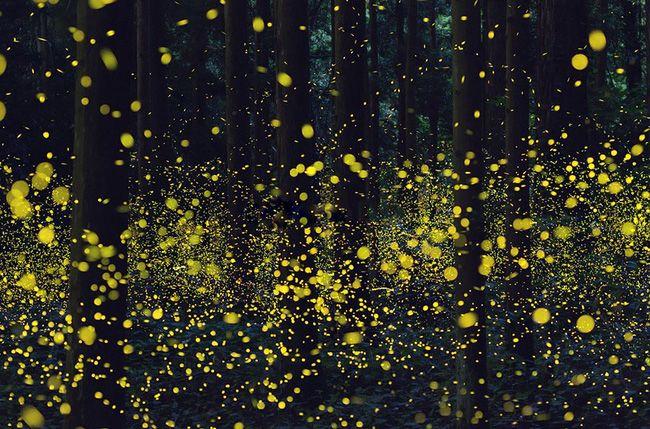 Ghé thăm khu rừng đom đóm huyền ảo như chốn thần tiên ở Nhật Bản - Ảnh 10.
