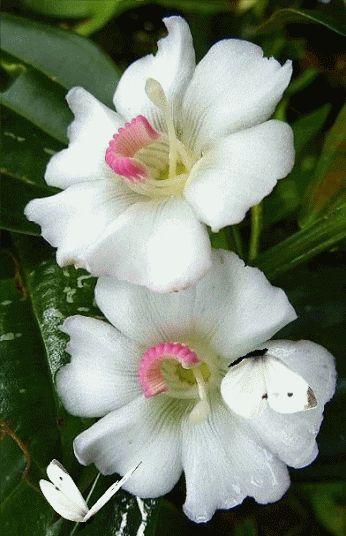 Flor algodão
