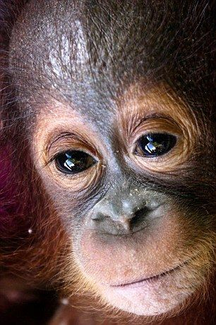 'There was a glimmer of light in his sad dark eyes': Dying baby orangutan snatched from his mother in the Borneo rainforest and kept alone in a dark cage is rescued | Daily Mail Online