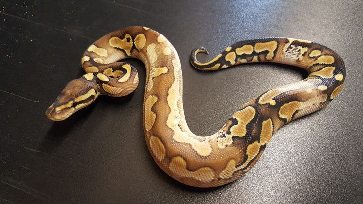 Best 25+ Ball python morphs ideas - 67.2KB