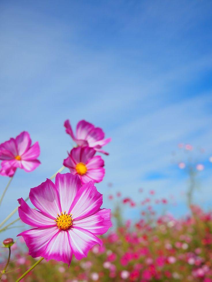 花とコスモス