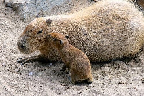 Capybara kisses