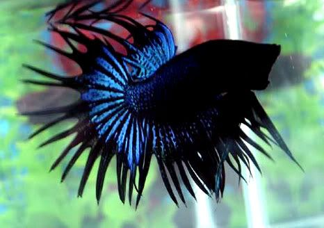 112 best images about glorious beasts on pinterest devon for Black betta fish for sale