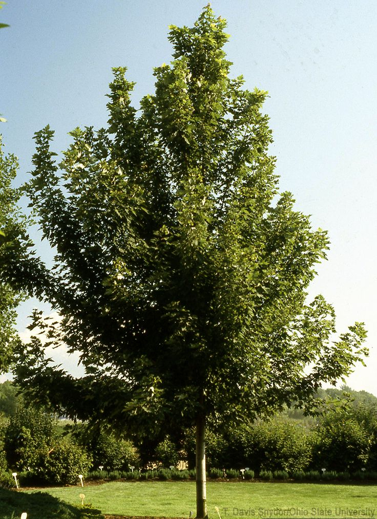 The 25 best shade trees ideas on pinterest trees to for Miniature shade trees