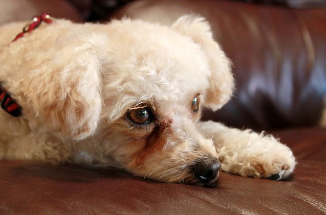 It's not that your dog is sad – he can't help tearing up. If he hasn't been watching the end of