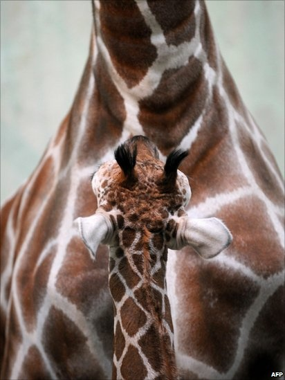 Baby giraffe looking up at its mother