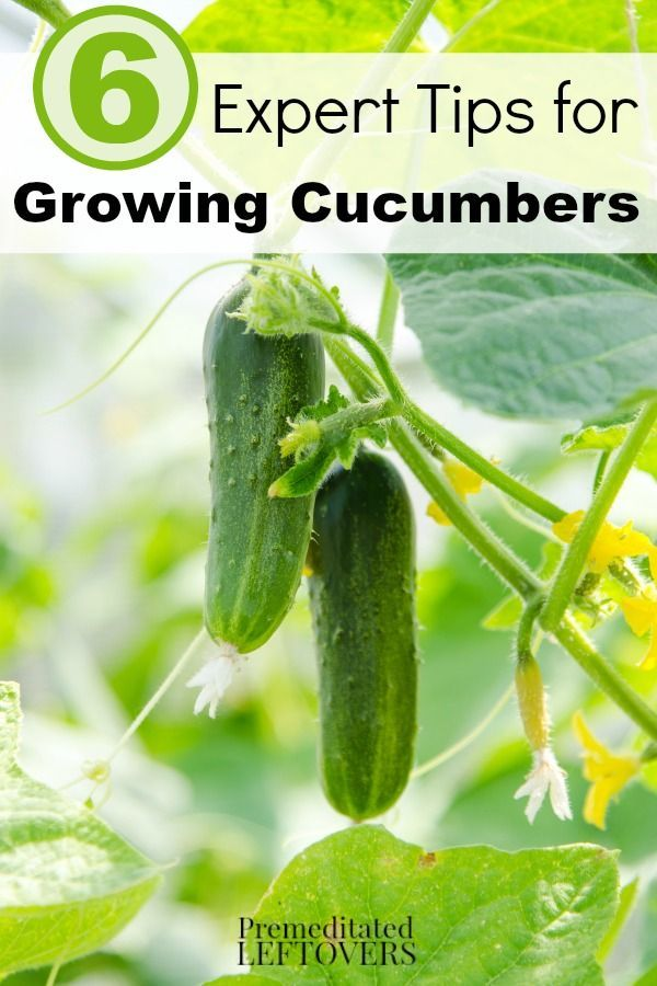 6 Expert Tips for Growing Cucumbers- Are you thinking about growing cucumbers in your garden? Use these expert gardening tips to grow healthy and thriving cucumber plants.