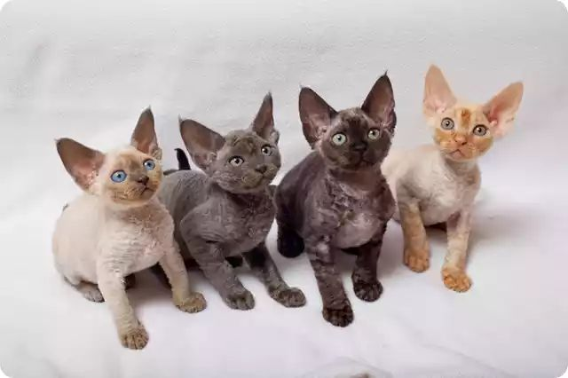 four devon rex kittens