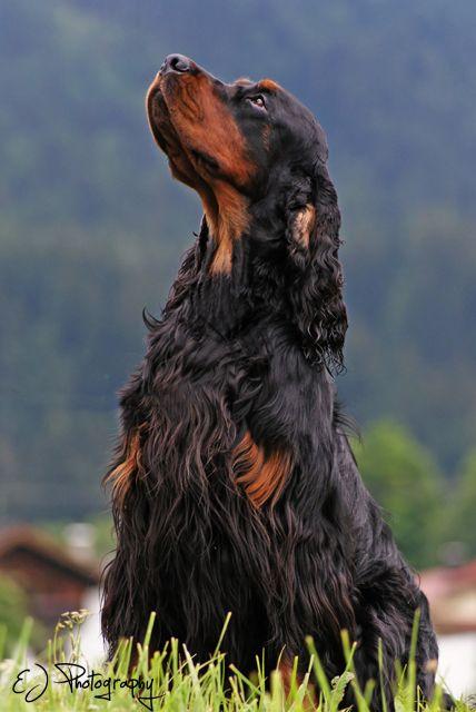 Gordon Setter - Hunderasse G - Hundeseite.de