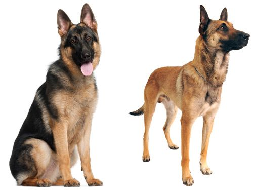 How to tell the difference: German Shepherds & Belgian Malinois